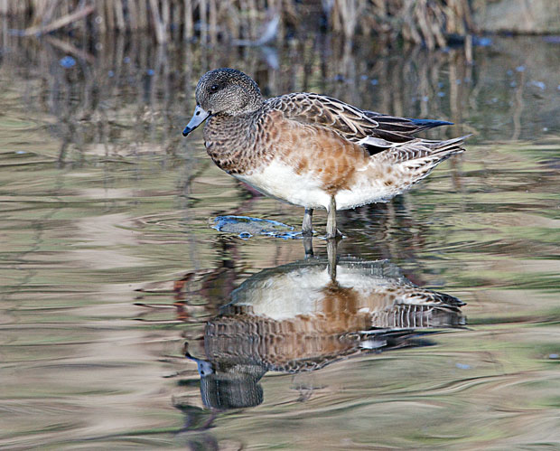 Female Widgeon