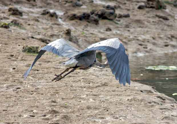 Heron Flying Away