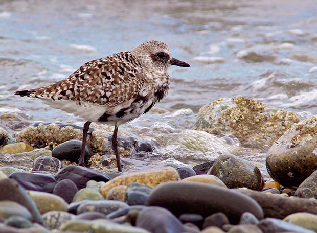 Black-Bellied Plover in transition colors