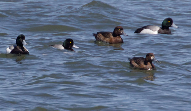 Flock of Greater Scaup