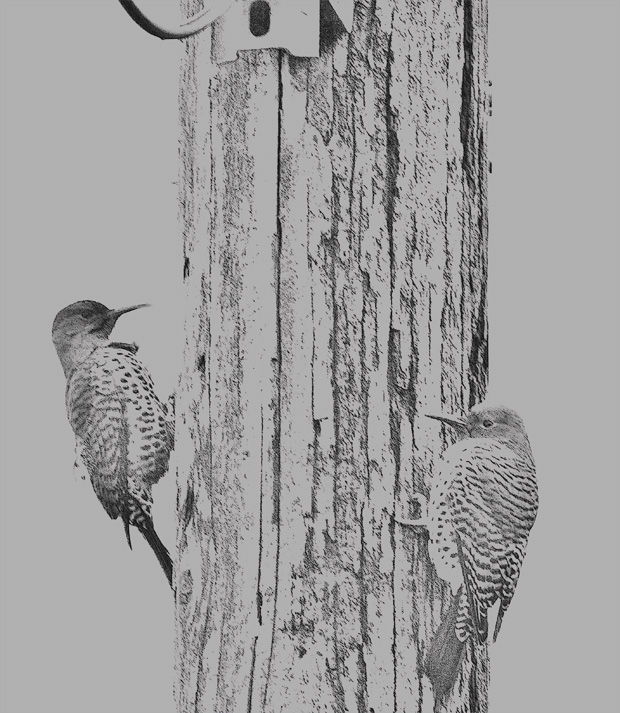 Flickers on Telephone Pole