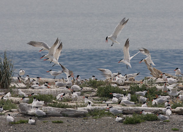 Flock Of Common Terns
