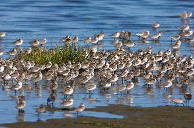 Flock Of Lesser Sandpipers