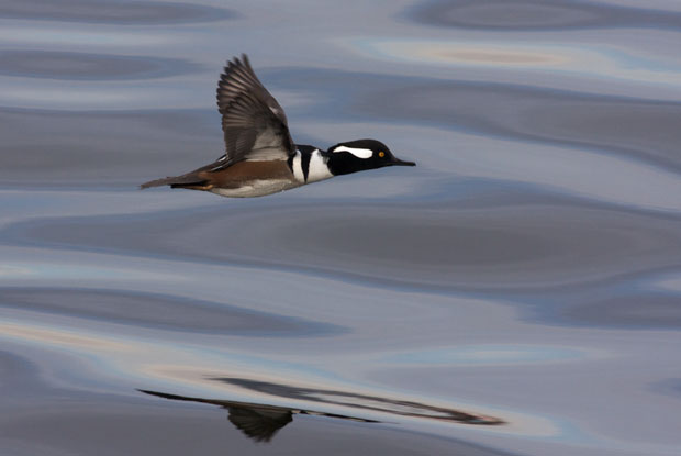 Flying Male Hooded Merganser