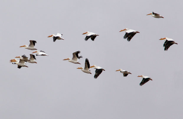 Flying White Pelicans