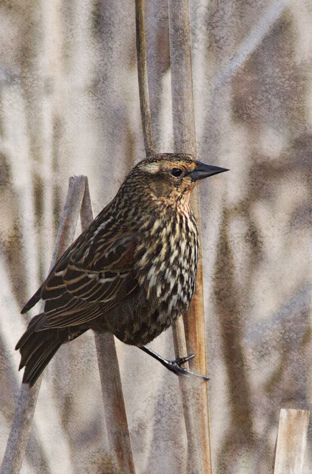 female Red-Wing Blackbird