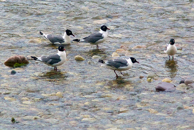 small flock of Franklin Gulls