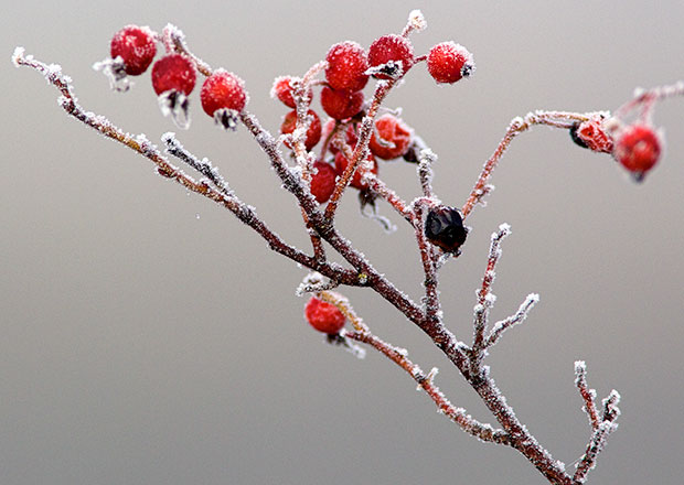 frosted Rose Hips