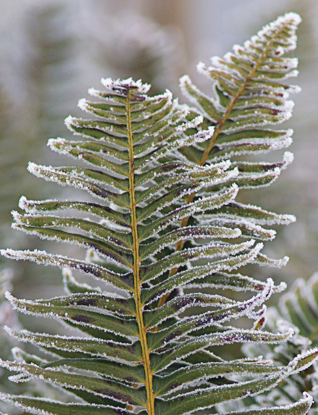 Rime coated fern