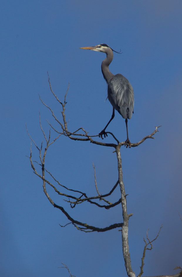 Great Blue Heron in tree top
