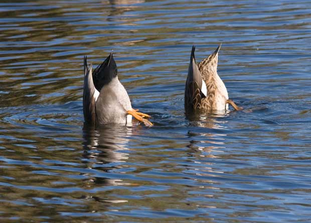 Gadwall Pair diving