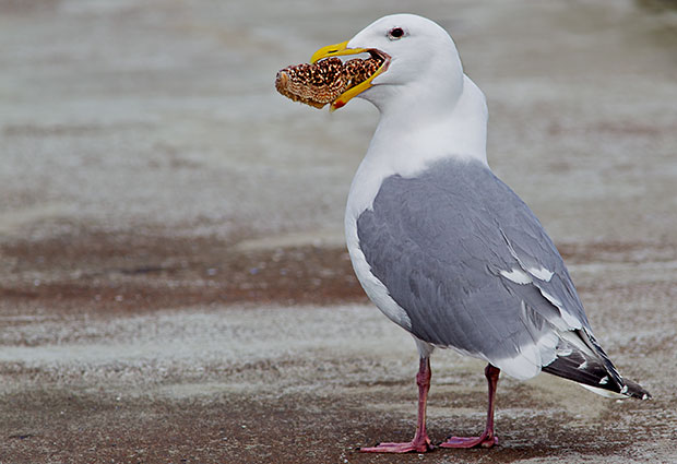 Gull with starfish