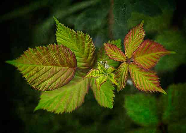 green leaves tinged with red