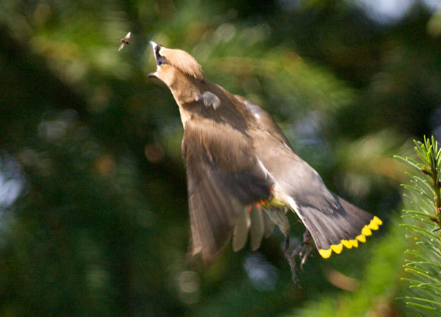 Waxwing Pursuing Insect
