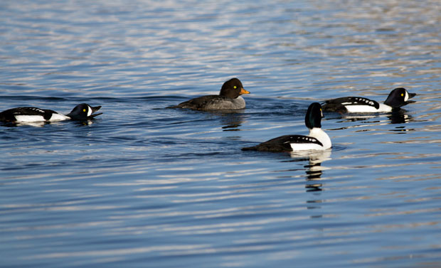 Barrow's Goldeneye Courting
