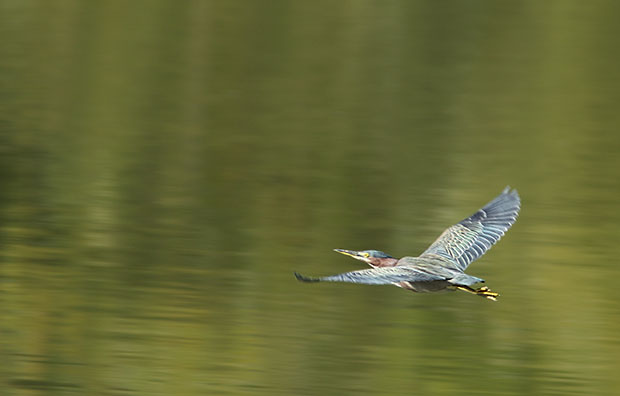 Green Heron flying