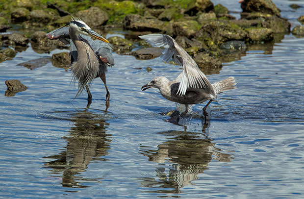 gull and Great Blue Heron