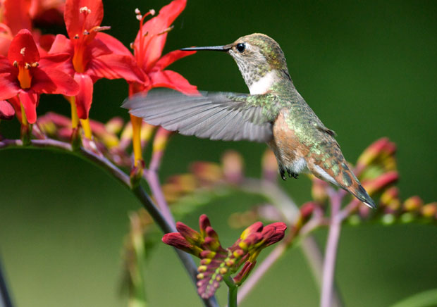 Hummingbird with Wings Thrust Forward
