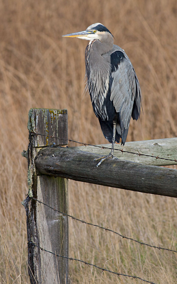 Great Blue Heron on Fence