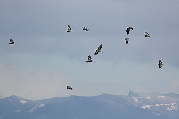 Flock of Great Blue Herons over Puget Sound