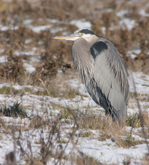 Heron In Snow