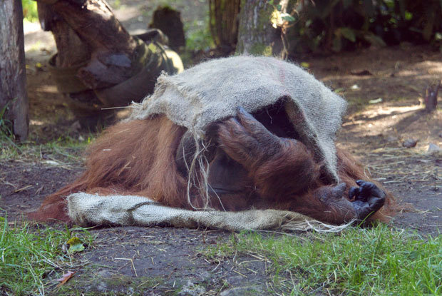 Orangutan hiding under gunny sack