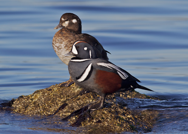 pair of Harlequin Ducks