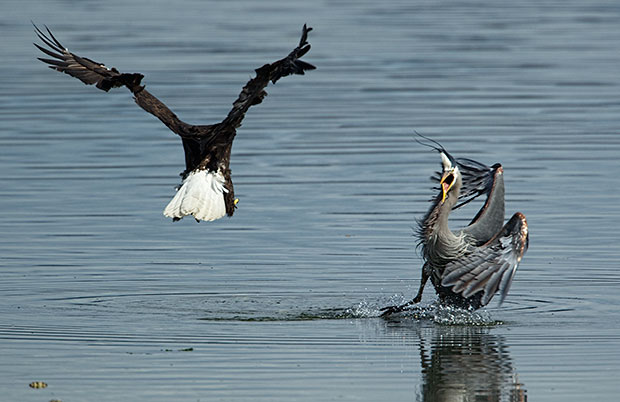 Bald Eagle harassing Great Blue Heron