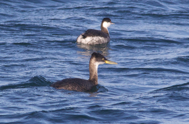 Horned Grebe and Red-Necked Grebe