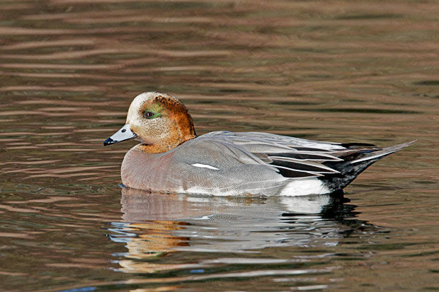 Hybrid Widgeon?