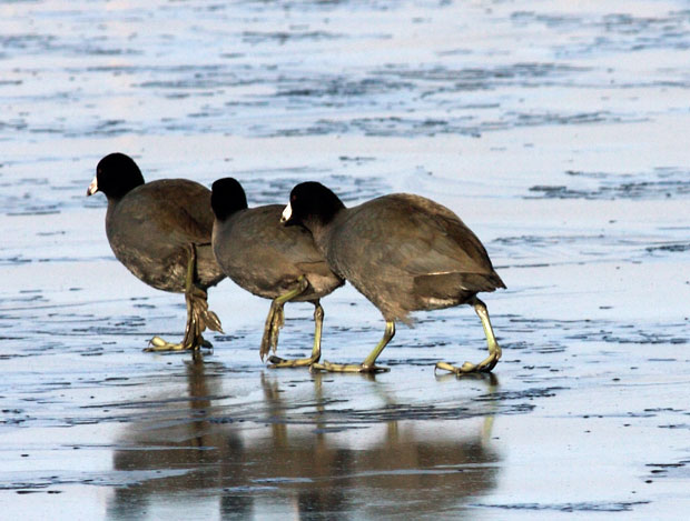 American Coots on Ice