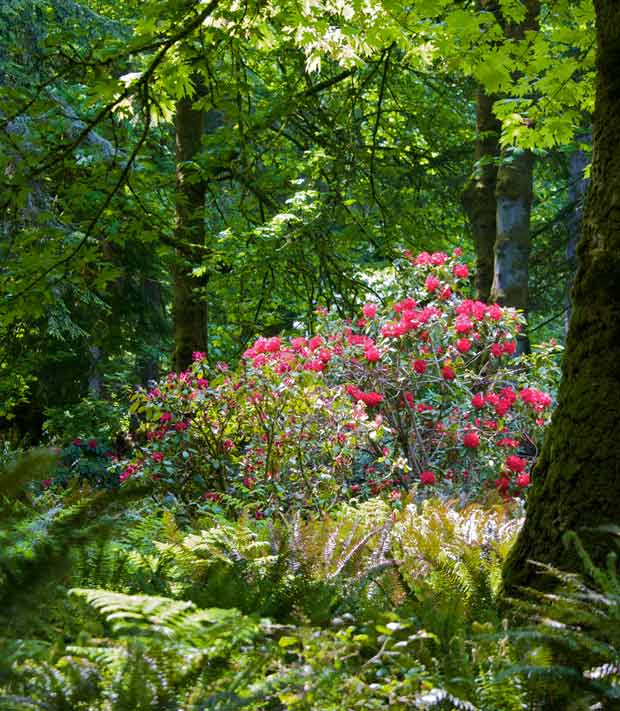 Red Rhododendron in Forest