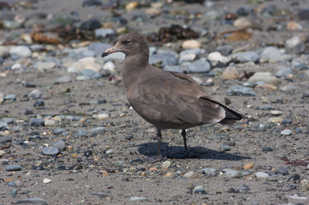 Immature Heerman's Gull