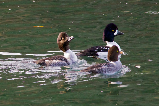 immature Barrow's Goldeneye changing colors