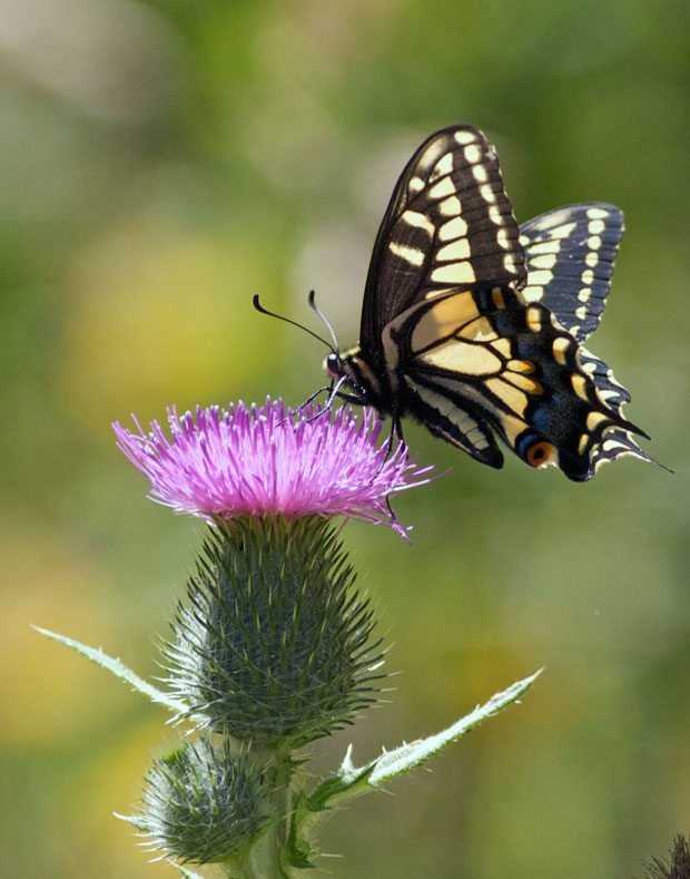 Indra Swallowtail On Thistle