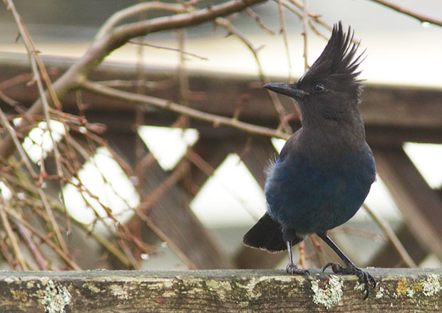 Stellar Jay on Fence