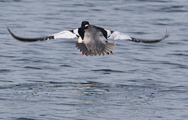 Common Merganser Landing