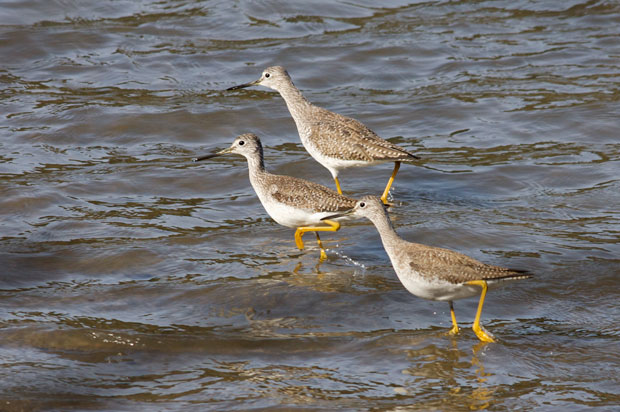 Lesser Yellowlegs Running