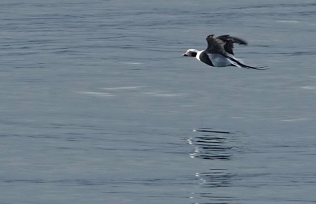 Long-Tailed Duck flying