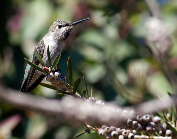 Hummingbird on Unknown Tree