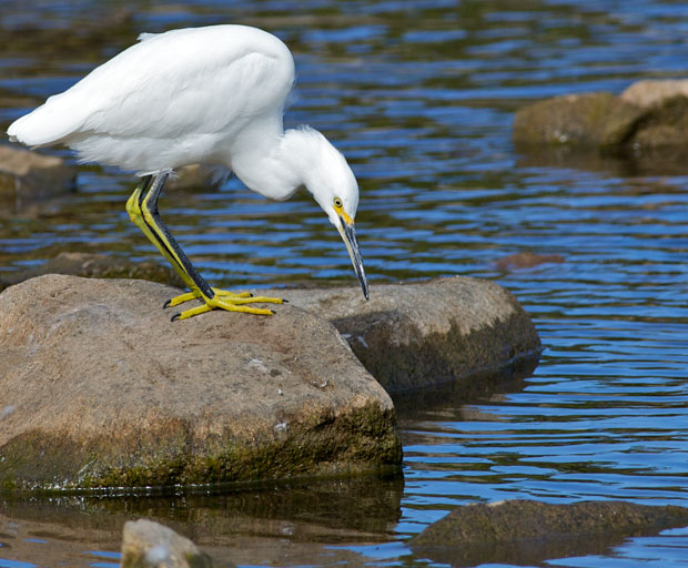 Egret Staring into Water