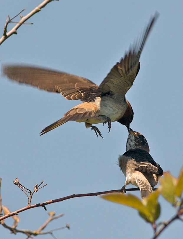 Swallow feeding Chick