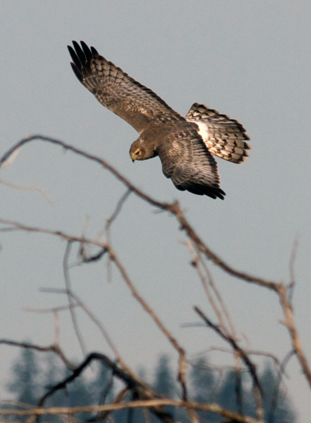 Immature Male Northern Harrier