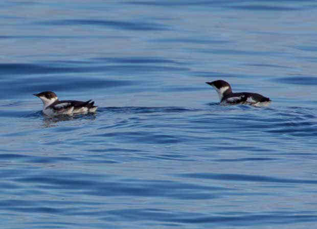 Marbled Murrelet in non-breeding colors