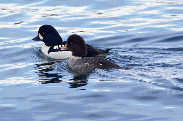 pair of Barrow's Goldeneye