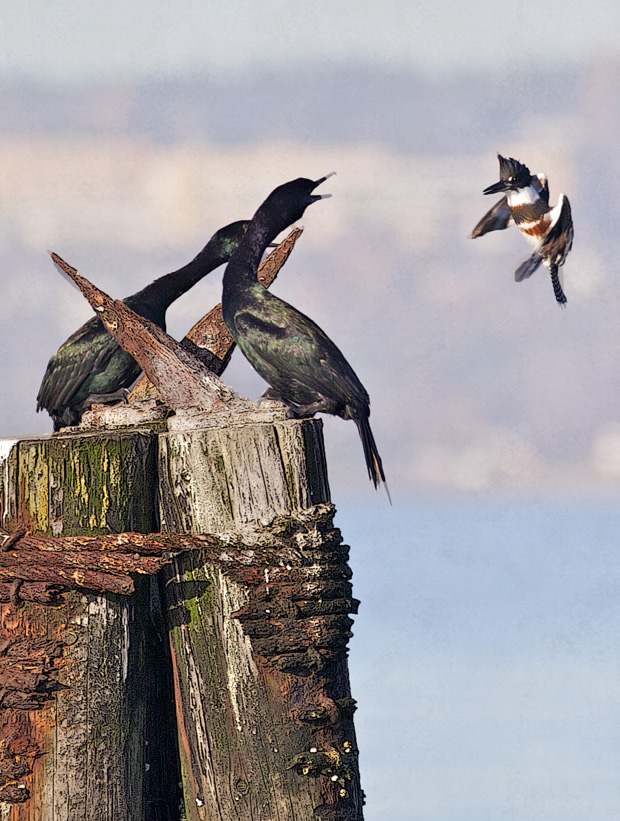 Pelagic Cormorants Attacked by Belted Kingfisher