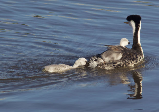 Western Grebe with Chick on Back