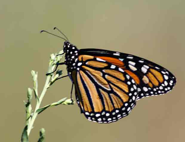 Monarch, I think