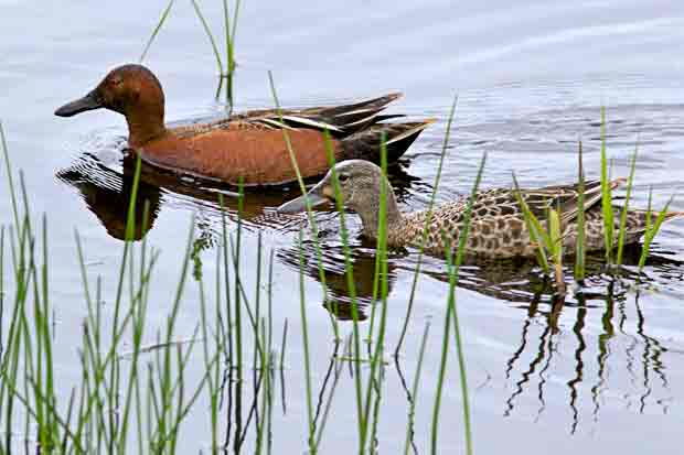 pair of Cinnamon Teal