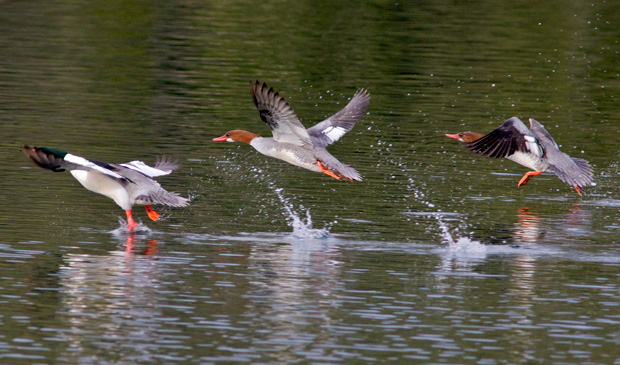 three mergansers taking off